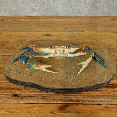 Blue Crab Life-Size Mount For Sale #16410 @ The Taxidermy Store