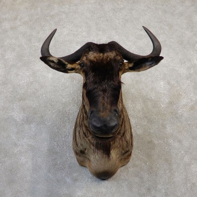 Blue Wildebeest Shoulder Mount For Sale #20039 @ The Taxidermy Store