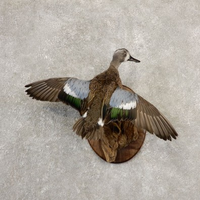 Blue Winged Teal Duck Bird Mount For Sale #20696 @ The Taxidermy Store
