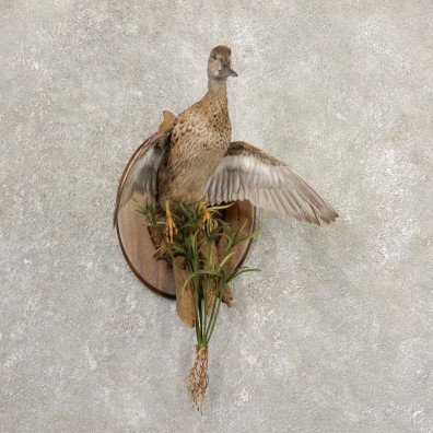 Blue Winged Teal Duck Bird Mount For Sale #20699 @ The Taxidermy Store