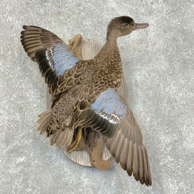 Blue Winged Teal Duck Bird Mount For Sale #21787 @ The Taxidermy Store