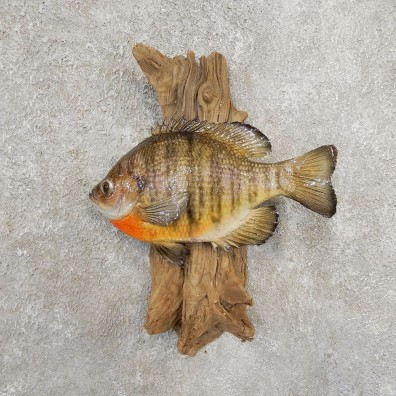 Bluegill Taxidermy Fish Mount #20914 For Sale @ The Taxidermy Store