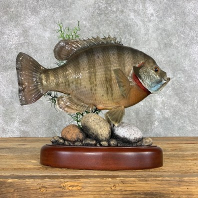 Bluegill Taxidermy Fish Mount #22304 For Sale @ The Taxidermy Store