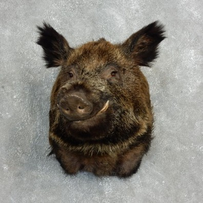 Wild Boar Shoulder Mount For Sale #17767 @ The Taxidermy Store