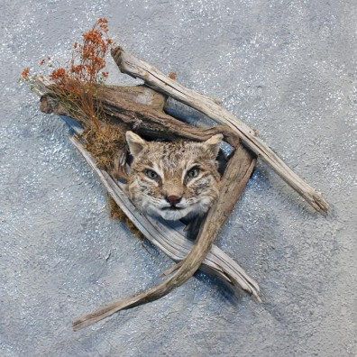 Wall Hanging Bobcat Head Mount #10107 For Sale @ The Taxidermy Store