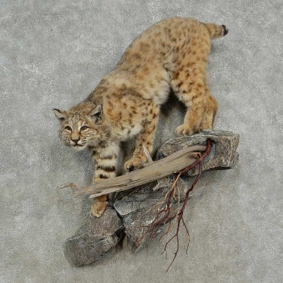 Bobcat Life-Size Mount For Sale #16900 @ The Taxidermy Store
