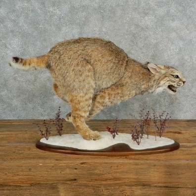 Bobcat Life-Size Mount For Sale #16967 @ The Taxidermy Store