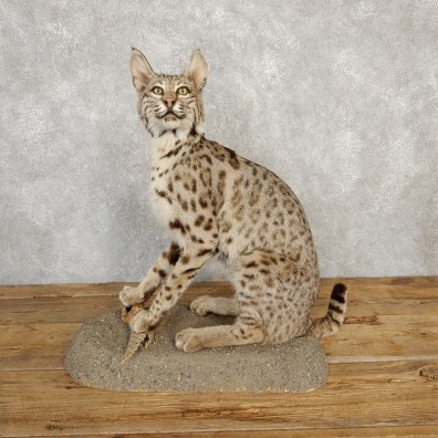 Bobcat Life-Size Mount For Sale #20226 @ The Taxidermy Store