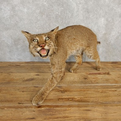 Bobcat Life-Size Mount For Sale #20227 @ The Taxidermy Store