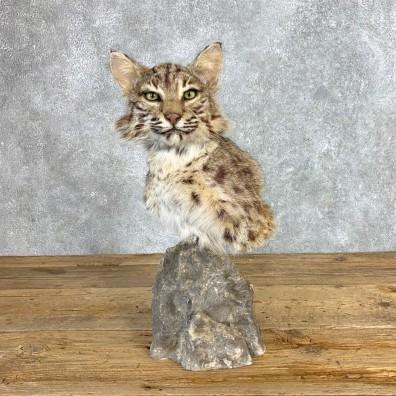 Bobcat Shoulder Pedestal Mount For Sale #22131 @ The Taxidermy Store