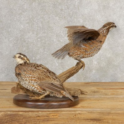 Bobwhite Quail Pair Bird Taxidermy Mount For Sale #21042 @ The Taxidermy Store
