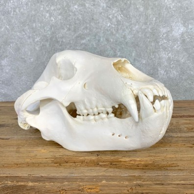 British Columbia Grizzly Bear Skull Mount For Sale #22550 @ The Taxidermy Store
