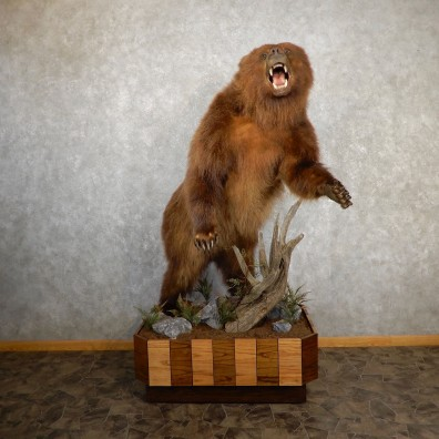 Brown Bear Life-Size Mount For Sale #19643 @ The Taxidermy Store