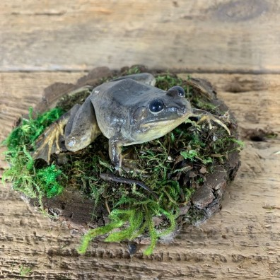 Bullfrog Taxidermy Mount For Sale #21549 @ The Taxidermy Store