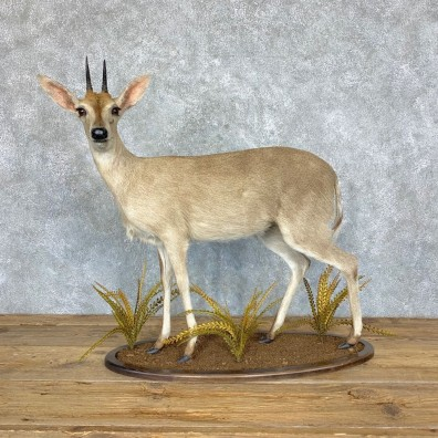Bush Duiker Life-Size Taxidermy Mount For Sale #21756 @ The Taxidermy Store