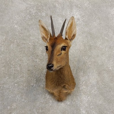 Bush Duiker Shoulder Mount For Sale #20476 @ The Taxidermy Store