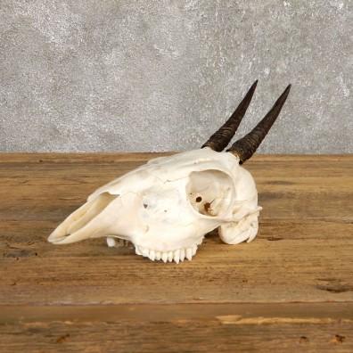 Bush Duiker Skull & Horn European Mount For Sale #19927 @ The Taxidermy Store