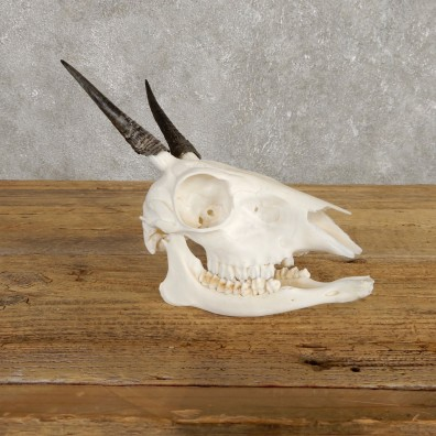 Bush Duiker Skull & Horn European Mount For Sale #19929 @ The Taxidermy Store