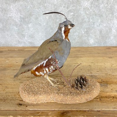 California Quail Bird Mount For Sale #21763 @ The Taxidermy Store