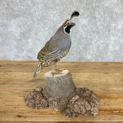 California Quail Bird Mount For Sale #21764 @ The Taxidermy Store