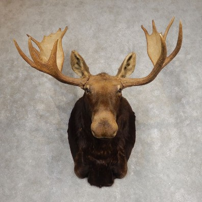 Canadian Moose Shoulder Mount For Sale #21273 @ The Taxidermy Store