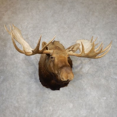 Canadian Moose Shoulder Mount For Sale #21302 @ The Taxidermy Store
