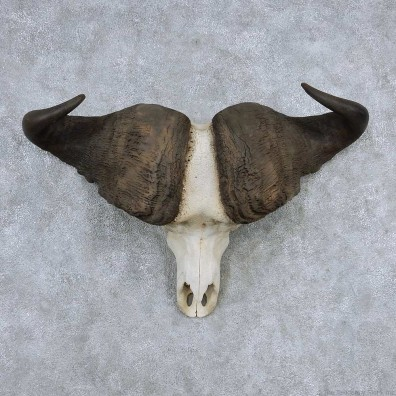 Cape Buffalo Skull Horns Mount For Sale #13904 For Sale @ The Taxidermy Store