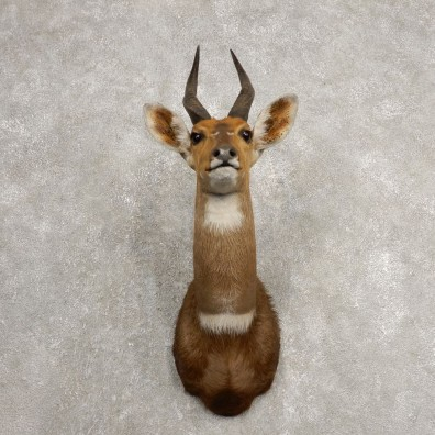Cape Bushbuck Shoulder Mount For Sale #20473 @ The Taxidermy Store