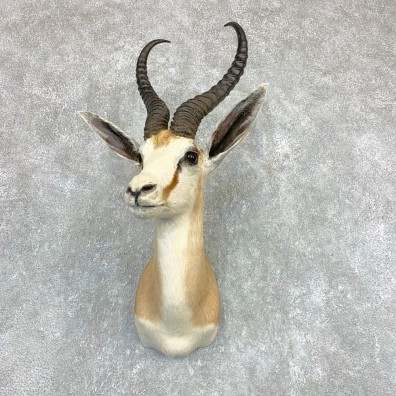 Cape Springbok Shoulder Mount For Sale #22095 @ The Taxidermy Store