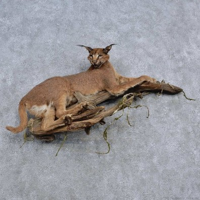 African Caracal Life-Size Mount For Sale #15664 @ The Taxidermy Store