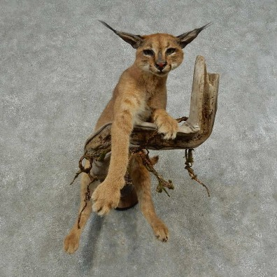 African Caracal Life-Size Mount For Sale #16877 @ The Taxidermy Store