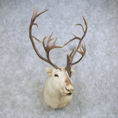 Peary Caribou Shoulder Mount For Sale #14612 @ The Taxidermy Store