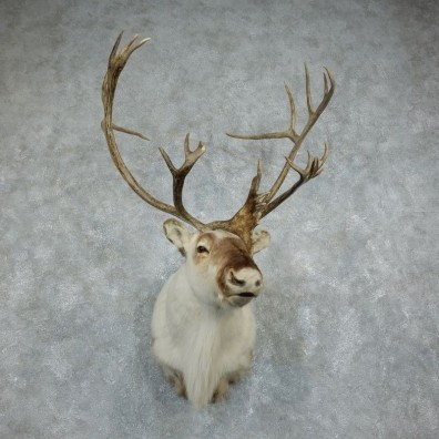 Peary Caribou Shoulder Mount For Sale #18346 @ The Taxidermy Store