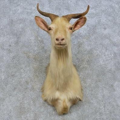 Catalina Goat Shoulder Mount For Sale #14665 - The ...