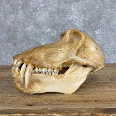 Chacma Baboon Taxidermy Full Skull Mount #22067 For Sale @The Taxidermy Store