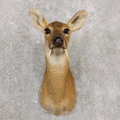 Chinese Water Deer Shoulder Mount For Sale #20024 @ The Taxidermy Store