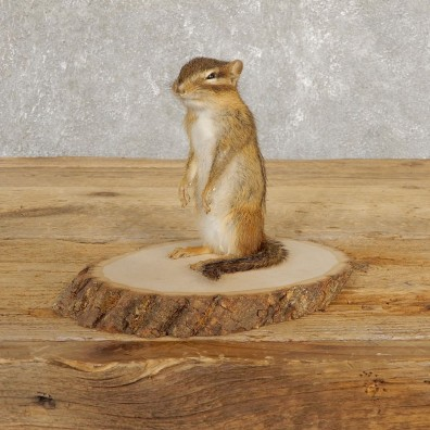 Chipmunk Life-Size Mount For Sale #20251 @ The Taxidermy Store