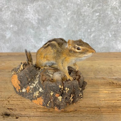 Chipmunk Life-Size Mount For Sale #21776 @ The Taxidermy Store
