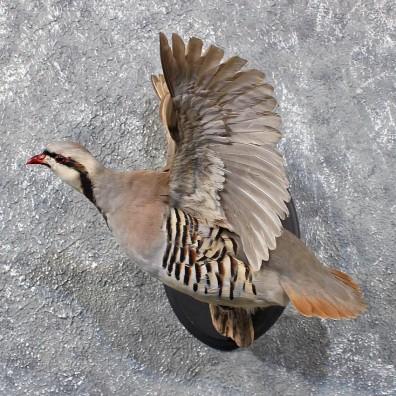Chukar Flying Taxidermy Mount 11719 The Taxidermy Store