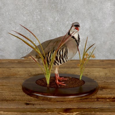 Chukar Taxidermy Mount For Sale 19492 @ The Taxidermy Store