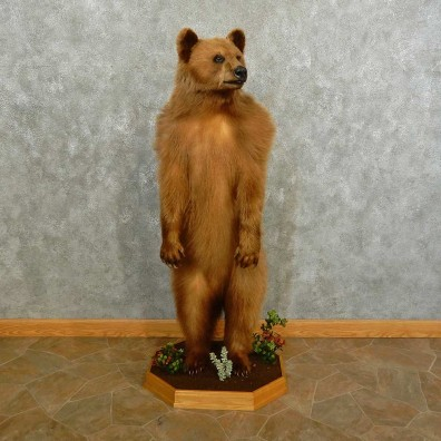 Cinnamon Black Bear Life-Size Mount For Sale #16756 @ The Taxidermy Store