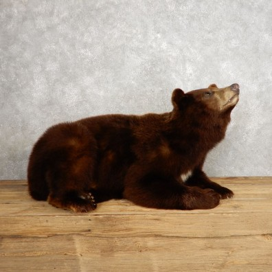 Cinnamon Phase Black Bear Life-Size Mount For Sale #21238 @ The Taxidermy Store