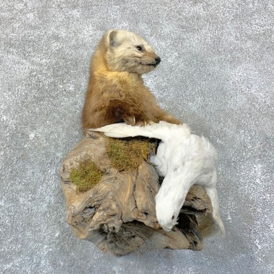 Colorado Marten With Ptarmigan Mount For Sale #22762 @ The Taxidermy Store