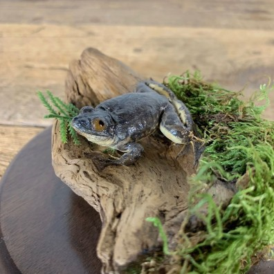 Copes Grey Tree Frog Taxidermy Mount For Sale #21551 @ The Taxidermy Store