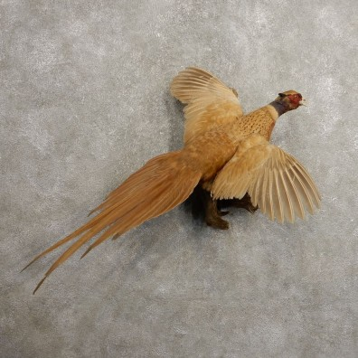 Copper Buff Ringneck Pheasant Bird Mount For Sale #20486 @ The Taxidermy Store