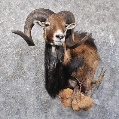 Mouflon Ram Shoulder Mount #11791 For Sale @ The Taxidermy Store