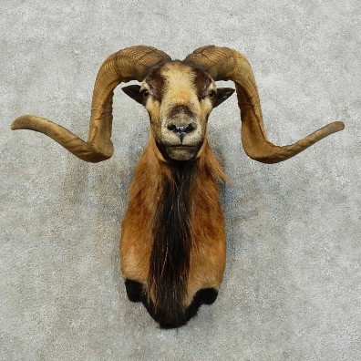 Corsican Ram Shoulder Mount For Sale #16014 @ The Taxidermy Store