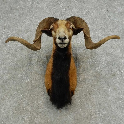Corsican Ram Shoulder Mount For Sale #16870 @ The Taxidermy Store