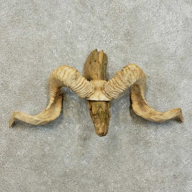 Corsican Ram Skull European Mount For Sale #16009 @ The Taxidermy Store