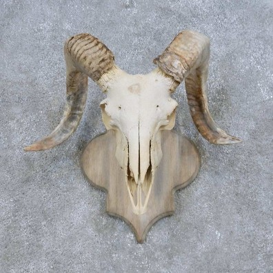 Corsican Ram Skull European Mount For Sale #14686 @ The Taxidermy Store